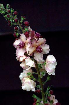 RHS Plant Selector Verbascum 'Norfolk Dawn' / RHS Gardening
