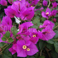 image de Bougainvillea sp.