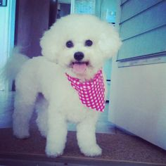 bichon frise. Just look at that sweet face!