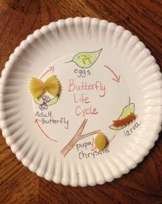 -Butterfly Life Cycle  -Le Cycle vital d'un papillon  -El Ciclo de Vida de la Mariosa