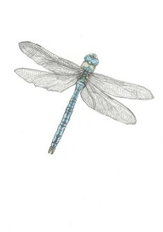 A5 Print  The Emperor  Dragonfly Pencil Drawing by HannahLongmuir,