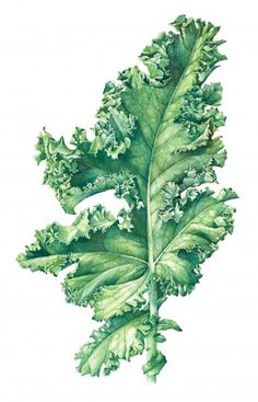 Kale from a page on the American Society of Botanical Artists