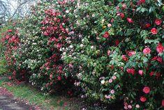 camelia hedge | Camellias are a favorite for Southern gardens.