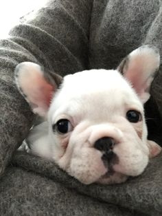 French bulldog Ruth