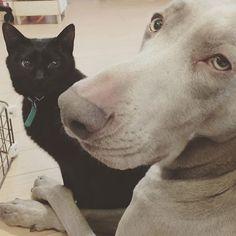 仲良くヒーター前のお二人さん。  #犬 #ワンコ #イヌ #いぬ #愛犬 #猫 #ニャンコ #ネコ #ねこ #愛猫 #黒猫 #犬バカ部 #猫バカ部 #dog #mydog #cat #mycat #blackcat #ワイマラナー #weimaraner #weim #ジャイモグノン #ルパハイ梅太郎 #仲良し #love #lovedogs #lovecat