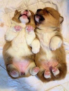 Ooh! Puppies! Cute Pembroke Welsh Corgi puppies! Look at those adorable tiny feet!