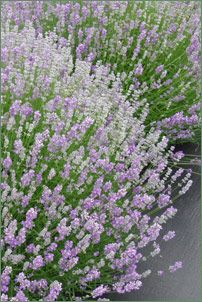 """Lavander - Prune back to 8"""" in late spring every 3 years to control plant size and to promote robust, new growth.  If pruning in the fall, it should be done well before danger of a hard freeze.   Make sure there are green leaves to be seen when cutting back. Pruning a lavender bush to the point where it has no foliage will most likely kill it. Never prune out old wood unless it is completely dead."""