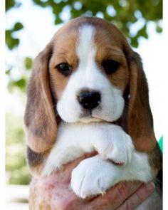 my Pap always had beagles. so cute
