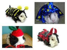 Sure, it's always fun to dress up a dog for Halloween, but this year, it's all about the guinea pig. There is something extra adorable about seeing these tiny, innocent animals in a costume. Check out some of our favorites! Pet Pigs, Guinea Pigs, Holidays Halloween, Halloween Fun, Pig Halloween Costume, Pet Costumes, Favorite Holiday, Dog Cat, Christmas Ornaments