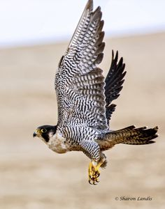 Peregrine Falcon flying at Pismo Beach California  US - via Sharon Landis