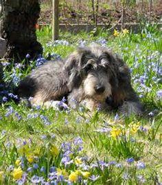 Griffon Nivernais Griffon Nivernais, Hunting Dogs, All Dogs, France, Dog Breeds, Puppies, Pets, Dog Stuff, Doggies