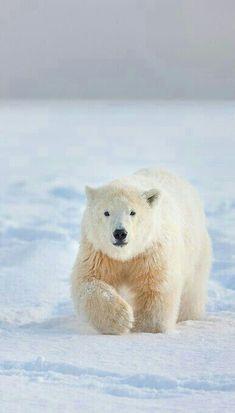 Beautiful Polar Bear!