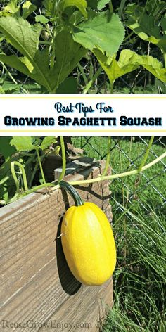 Best Tips For Growing Spaghetti Squash &; Reuse Grow Enjoy Best Tips For Growing Spaghetti Squash &;Able Shoppin centsableshop Gardening Spaghetti squash has become […] photography Growing Spaghetti Squash, Growing Squash, Spaghetti Squash Recipes, Growing Veggies, Planting Vegetables, How To Grow Squash, Regrow Vegetables, Squash Companion Plants, Companion Planting
