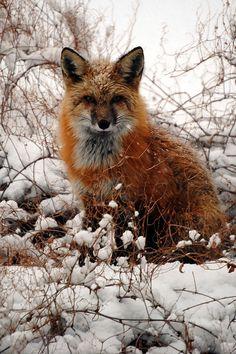 Call me Fox