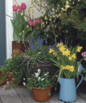 daffodils explode from the top of an old blue coffee pot. Behind it sits a large basket holdingpots of grape hyacinths and Johnny-jump-ups.