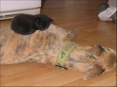 kittens + greyhounds