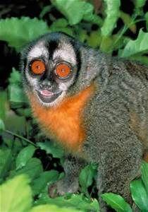 Owl Monkey - Bing Images