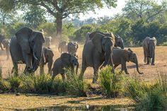 31784.  Elephant herd running to a waterhole, Sabi Sabi, South Africa - © Jim Zuckerman Photography