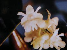 Dendrobium aberrans  besoin de grosse hygrométrie, surtout pas de soleil direct!