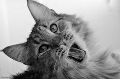 My sweet cat Damon Moochieland - Norwegian Forest Cat