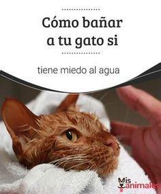 Cómo bañar a tu gato si tiene miedo al agua Lograr bañar a tu gato puede ser una misión difícil pero no imposible. Con paciencia y mucho amor puedes conseguir que pierda el miedo al agua. #bañar #gato #consejos #miedo