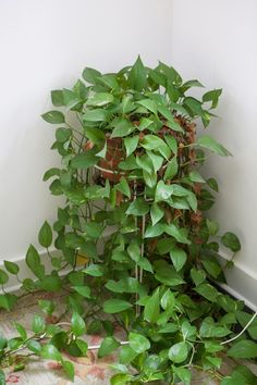 Pothos - potted plant - easy care - liqued kelp for plants?