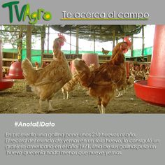 #AnotaElDato ... Las gallinas y sus huevos. ¡Esperamos tú opinión!