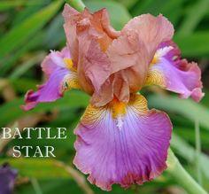 TB Iris germanica 'Battle Star' (Osborne, 1979)