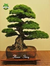 bonsai pino ile ilgili görsel sonucu