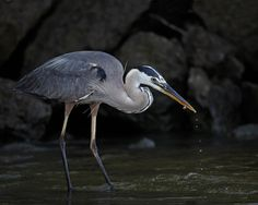 Honorable Mention. This great blue heron was catching minnows near the banks of the Mississippi. By Les Zigurski