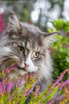 http://www.mainecoonguide.com/what-is-the-average-maine-coon-lifespan/
