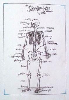 Class 8: The Human Skeleton