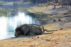 There has been a lot of lion movement at Kings Pool lately  http://www.wilderness-safaris.com/news/news_search/?id=2694=true=camp