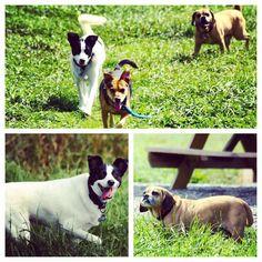 Jack Shepard & Doc are serious buddies.  They don't leave each other's side much! #evasplaypupspa #dogcamp #doggievacays #bffs #pugglesofinstagram #badassbk #adoptdontshop #dogsinnature #dogdaysofsummer #dogsofinstagram #endlessmountains #mountpleasant