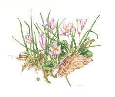 crochi - by silvana volpato - conversazioni di pittura botanica in giardino -  un giardino in diretta