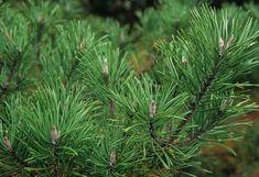 View Plant | Great Plant Picks - Pinus contort var. contorta - Shore Pine