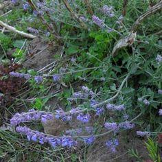 Imagens de flores: Ervas-de-gato