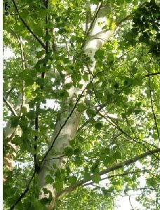 Paul planted a sycamore for my wedding gift, so romantic... a sycamore tree