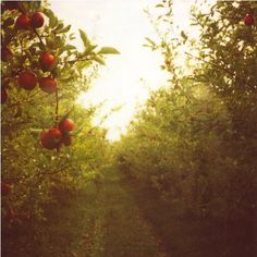 Picking apples at an orchard is truly a wonderful Fall delight. The apple fights and scrumptious pie baking that follow make the experience all the more enjoyable. :P
