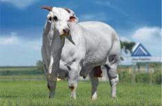 Resultado de imagem para touro nelore