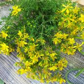 Šentjanževka (Hypericum perforatum) or St John's wort. You can find it now in Dragon Valley (Istria, Slovenia).