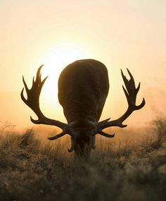. Photography by @ (Max Ellis). Stag sunset sun. #wildlife #stag #silhouette #sunrise #sunset #deer #summer