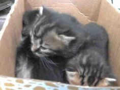 BABY TABBIES...NOW ADOPTABLE!!! PALMETTO, FLORIDA...PetHarbor.com: Animal Shelter adopt a pet; dogs, cats, puppies, kittens! Humane Society, SPCA. Lost & Found.