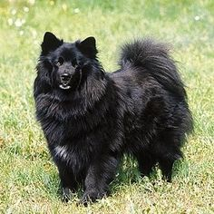 Swedish Lapphund | 21 Awesome Dog Breeds You've Never Heard Of And Need To Know About Immediately