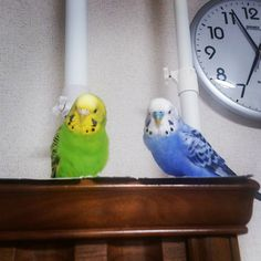 What time is it? Time to be cute!  Thanks to Hiroe for this shot of your #birbs.  #parakeets #parakeet #parakeetlove #budgies #budgie #budgielove