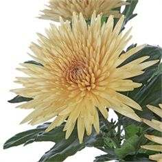 Chrysanthemum Blooms Anastasia Bronze are a spider bronze disbudded, single headed cut flower variety. 70cm tall & wholesaled in 10 stem wraps.