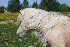 Icelandichorse