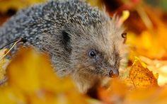 #1858406, hedgehog category - Amazing hedgehog backround