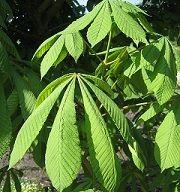 Propiedades medicinales del Castaño de indias (Aesculus hippocastanum).