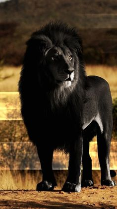 Black Lion Looks Amazing - Hmmm.  I'm not sure but he looks Photoshopped.  If there is a melanistic  lion like this out there, I would be appropriately amazed and astounded.  Not to mention entirely in love.